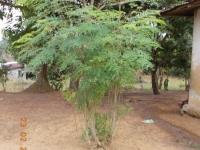 moringa-baum-beruehmter-kraeuterbaum-und-unbeachtetes-unkraut